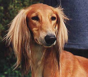 saluki dog. a beautiful portrait of very winning dog saluki